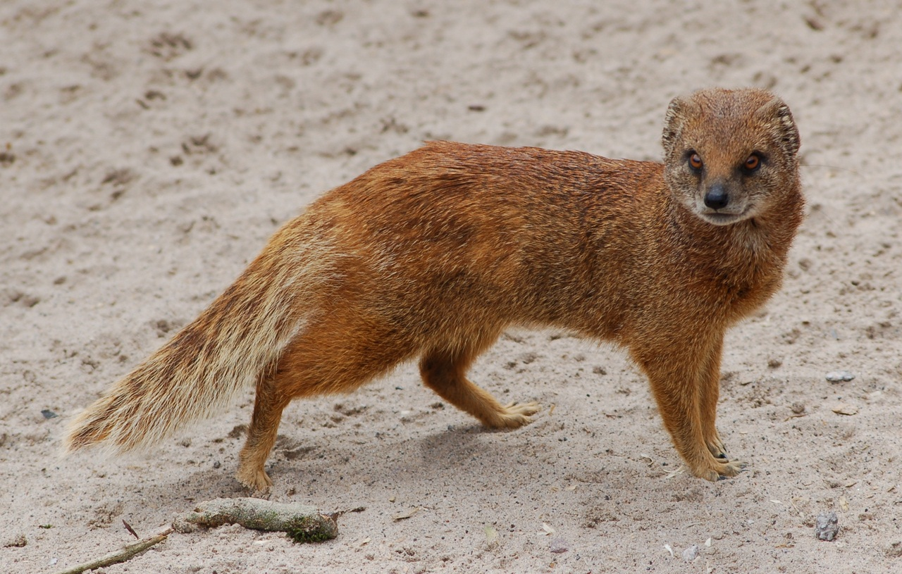 Yellow Mongoose at Chester Zoo